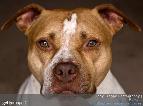 Tous les chiens de catégorie 1, comme les pitbulls, ne sont pas autorisés à prendre l'avion.