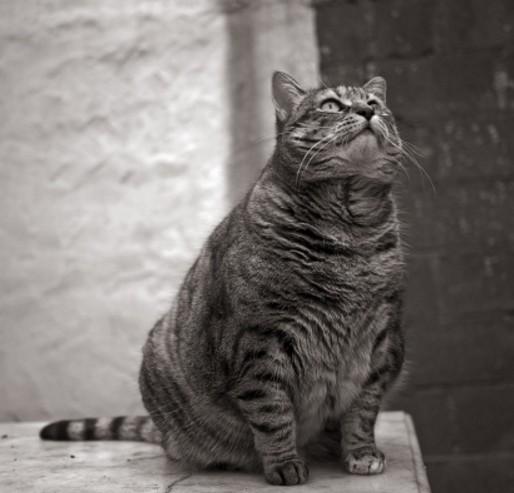 L'obésité féline : causes et conséquences